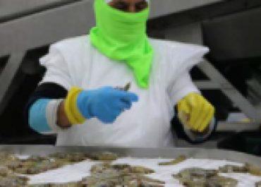 China evidenció la calidad e inocuidad del camarón ecuatoriano en inspecciones y levantó suspensión a 2 empresas exportadoras